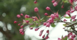 Pink Sakura buds budding during cherry blossom season in Japan. Pink Sakura budding during cherry blossom season in Japan as camera pans around the flowers in stock video footage
