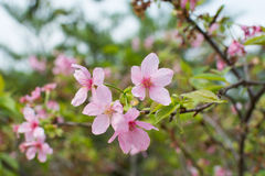 Pink sakura (Canton cherry blossoms) Stock Photography