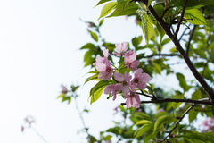 Pink sakura (Canton cherry blossoms)  in a sunny day Royalty Free Stock Image
