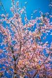 Pink sakura cherry blossom Stock Image