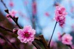 Pink Sakura Royalty Free Stock Photography