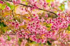 Pink sakura cherry blossom Royalty Free Stock Photography