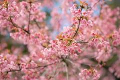 Pink sakura cherry blossom Stock Photos