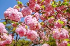 Pink Sakura Cherry Blossom Stock Photography