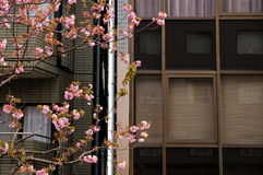 Pink sakura cherry blossom flowers in Tokyo. Pink sakura cherry blossom flowers in downtown Tokyo, Japan Royalty Free Stock Photos