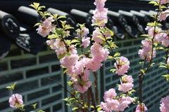 Pink sakura (cherry) blossom in Korean Garden Royalty Free Stock Photos