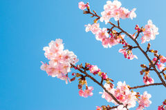 Pink Sakura, Cherry Blossom, is  the most beautiful flower Royalty Free Stock Photos