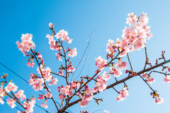 Pink Sakura, Cherry Blossom, is  the most beautiful flower Royalty Free Stock Photography