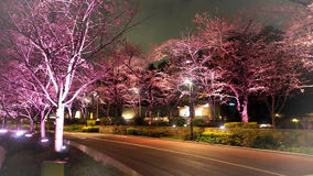 Pink sakura or cherry blossom at night in Roppongi Tokyo Midtown. And light and flare in to camera and background landscape royalty free stock photo