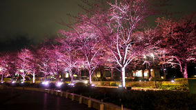 Pink sakura or cherry blossom at night in Roppongi Tokyo Midtown. And light and flare in to camera and background landscape stock photos