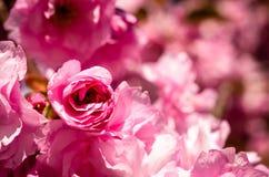 Pink sakura cherry blossom in springtime Royalty Free Stock Photography