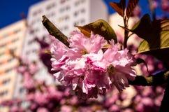 Pink sakura cherry blossom in springtime Stock Photo