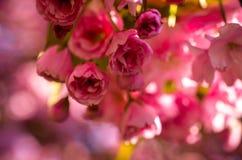 Pink sakura cherry blossom in springtime Royalty Free Stock Photo