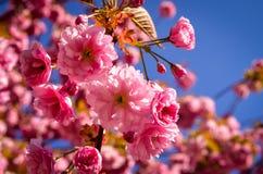 Pink sakura cherry blossom in springtime Stock Photos