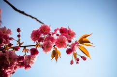 Pink sakura cherry blossom in springtime Royalty Free Stock Photos