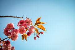 Pink sakura cherry blossom in springtime Royalty Free Stock Images