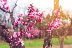 pink sakura or cherry blossom royalty free stock photo