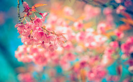 Pink sakura or cherry blossom tree with blue sky,background blur bokeh full vivid color. Sakura Flower or Cherry Blossom With Beautiful Nature Background Wild Stock Photo