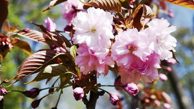 Pink sakura cherry blossoms macro stock footage