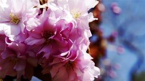 Pink sakura cherry blossoms macro stock video footage