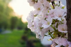 Sakura cherry tree blossoms in garden Royalty Free Stock Images