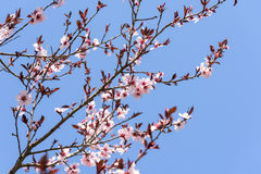 Pink Sakura Cherry Tree Flowers Royalty Free Stock Images