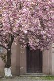 Pink sakura cherry tree in Uzhgorod Royalty Free Stock Photos
