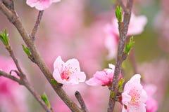 Pink sakura close up Stock Photography
