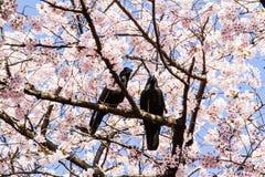 Pink sakura with crows Royalty Free Stock Image