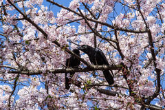 Pink sakura with crows Stock Photography