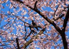 Pink sakura with crows Royalty Free Stock Photo