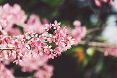 Pink sakura Royalty Free Stock Photos