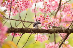 Pink Sakura flower. Blooming and bird eating in Thailand Royalty Free Stock Photo