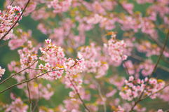 Pink Sakura flower. Blooming and bird eating in Thailand Stock Image