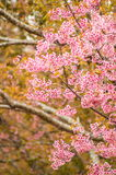 Pink Sakura flower. Blooming and bird eating in Thailand Stock Photos