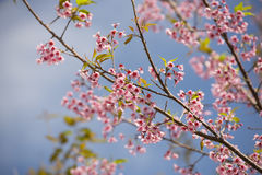 Pink Sakura flower. Blooming with blue sky stock image