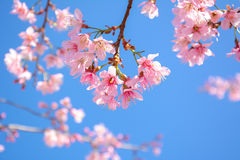 Pink Sakura flower blooming on blue sky background Royalty Free Stock Image