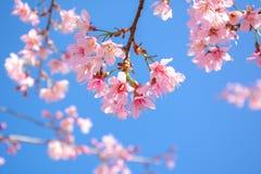 Pink Sakura flower blooming on blue sky background. Beautiful pink Sakura flower blooming on blue sky background Royalty Free Stock Image