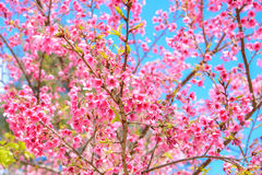 Pink Sakura flower blooming on blue sky background Royalty Free Stock Photography
