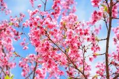 Pink Sakura flower blooming on blue sky background Royalty Free Stock Photo