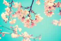 Pink Sakura flower blooming on blue sky background - vintage tone Stock Images