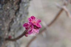 Pink Sakura flower blooming. Pink sakura on branch on blur background Royalty Free Stock Image