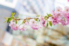 Pink Sakura flower blooming Royalty Free Stock Photo