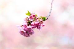 Pink Sakura flower blooming Stock Image