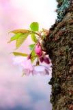 Pink Sakura flower blooming Stock Images