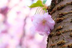 Pink Sakura flower blooming Stock Photos