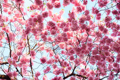 Pink Sakura flower blooming Stock Image