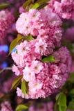 Pink Sakura flower blooming Royalty Free Stock Photos