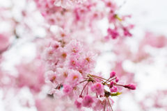 Pink Sakura flower blooming Stock Images