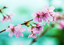 Pink Sakura flower blooming Royalty Free Stock Photos